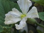 認識植物(70) 腰萬萱萼落葉葎葛葡葫葶蒂:葫蘆ac5929.JPG