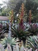 認識植物2.0 (67) 帝後恆扁:帝王鳳梨xx05.jpg