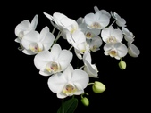 蝴蝶蘭照片欣賞 :W01-020b.JPG