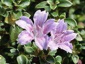 植物隨手拍 L:丁香木 L0403.JPG
