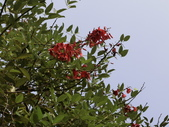 植物隨手拍 CJ:雞冠刺桐cj6580.JPG