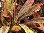 植物隨手拍EI:長葉變葉木ei6689.JPG