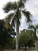 植物隨手拍 P:大王椰子 p2823.JPG