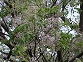 植物隨手拍 AS:苦楝as6012.JPG
