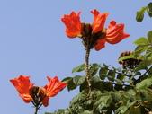 植物隨手拍 Q:火焰木 q0765.JPG