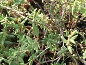 認識植物2.0 (29) 百竹:百里香cq6265.JPG