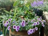 認識植物2.0 (59) 長:長筒花xx02.jpg