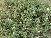 植物隨手拍 L:金午時花 L2070.JPG