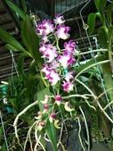 認識植物2.0 (68) 指星映春:指甲蘭xx01.jpg