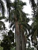 植物隨手拍 P:大王椰子 p3060.JPG