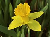 植物隨手拍 BP:西洋水仙bp3729.JPG