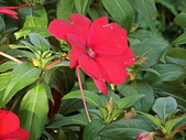植物隨手拍CW:超級鳳仙cv9036.JPG
