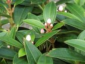 植物隨手拍EI:珍珠牡丹ei0740.JPG