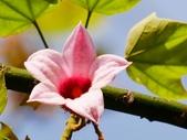 認識植物2.0 (68) 指星映春:星花酒瓶樹xx01.jpg