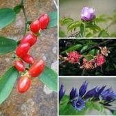 認識植物2.0 (70) 柊柏柚柳:相簿封面
