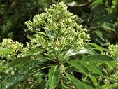 植物隨手拍 Q:台灣海桐 q0839.JPG