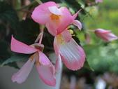 植物隨手拍 AD:垂絲海棠ad7407.JPG