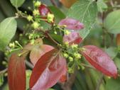 植物隨手拍 CJ:羅比梅cj0867.JPG