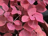 植物隨手拍CW:小紅楓cw6889.JPG