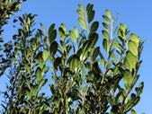 認識植物(64) 象費貼超酢量鈕開陽雁雲韌須:象牙木ay3142.JPG