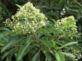 植物隨手拍 Q:台灣海桐 q1073.JPG