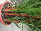 植物隨手拍EI:紅椰子ei7281.JPG