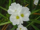 認識植物(64) 象費貼超酢量鈕開陽雁雲韌須:象耳澤瀉xx03.jpg