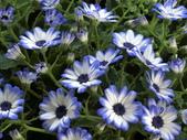 認識植物2.0 (20) 瓜瓦甘田由:瓜葉菊bd3561.JPG