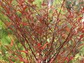 認識植物2.0 (63) 南:南天竹ab7319.JPG