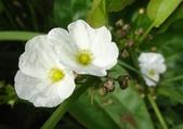 認識植物(64) 象費貼超酢量鈕開陽雁雲韌須:象耳澤瀉xx04.jpg