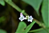 認識植物(58) 寒戟掌提散敦斐斑:戟葉蓼xx01.jpg