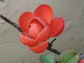 認識植物(58) 寒戟掌提散敦斐斑:寒梅bt1231.JPG