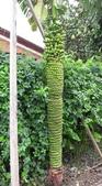認識植物(64) 象費貼超酢量鈕開陽雁雲韌須:象鼻蕉xx01.jpg
