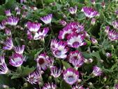 認識植物2.0 (20) 瓜瓦甘田由:瓜葉菊bd3563.JPG