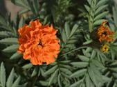 植物隨手拍 X:萬壽菊 x9081.JPG