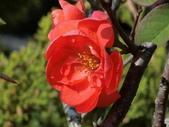 認識植物(58) 寒戟掌提散敦斐斑:寒梅bt1236.JPG