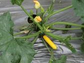 認識植物2.0 (63) 南:南瓜an6661.JPG