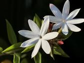 植物隨手拍 X:毛茉莉 x9393.JPG