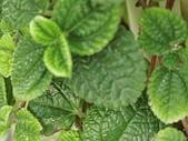植物隨手拍 BP:蝦蟆草bp1576.JPG