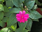 植物隨手拍CW:超級鳳仙cv7531.JPG
