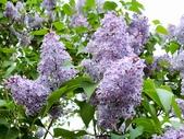 認識植物(61) 紫:紫丁香xx01.jpg