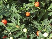 植物隨手拍 X:玉珊瑚 w7124.JPG