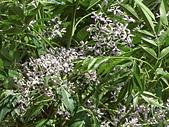 植物隨手拍 AS:苦楝as6001.JPG