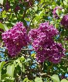 認識植物(61) 紫:紫丁香xx04.jpg