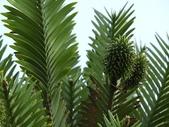 認識植物2.0 (20) 瓜瓦甘田由:瓦勒邁杉xx01.jpg