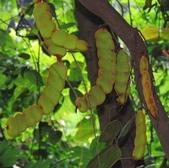 認識植物2.0 (32) 血西:血藤xx06.jpg