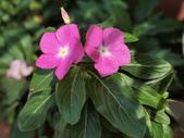 認識植物2.0 (59) 長:長春花 v5347.JPG