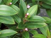 植物隨手拍EI:珍珠牡丹ei0735.JPG