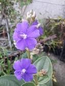 認識植物(62) 結絡絨絲腎荆菁菊:絨葉野牡丹xx01.jpg