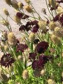 認識植物(66) 黑:黑色紫盆花xx03.jpg